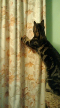 Gizmo 'rearranges' the curtains with his claws